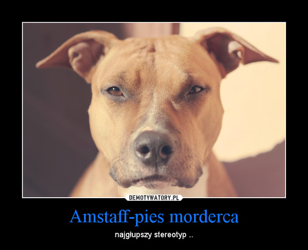 Amstaff-pies morderca – najgłupszy stereotyp ..