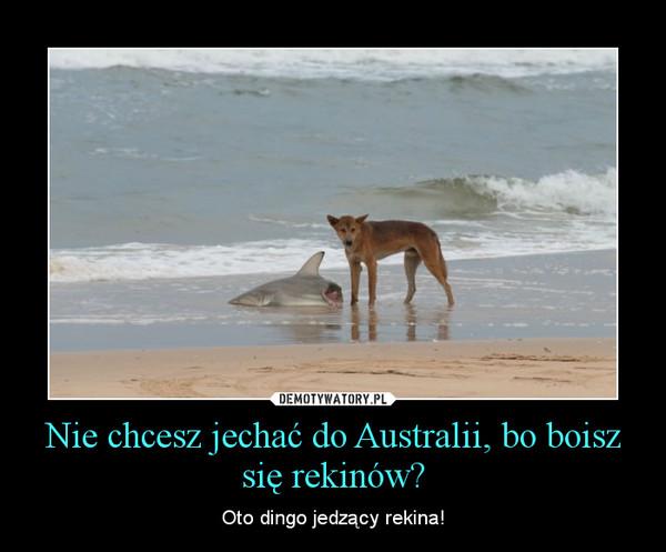 Nie chcesz jechać do Australii, bo boisz się rekinów? – Oto dingo jedzący rekina!