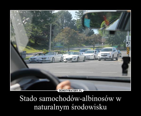 Stado samochodów-albinosów w naturalnym środowisku –