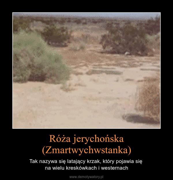 Róża jerychońska(Zmartwychwstanka) – Tak nazywa się latający krzak, który pojawia się na wielu kreskówkach i westernach