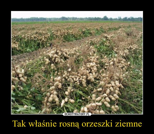 Tak właśnie rosną orzeszki ziemne –
