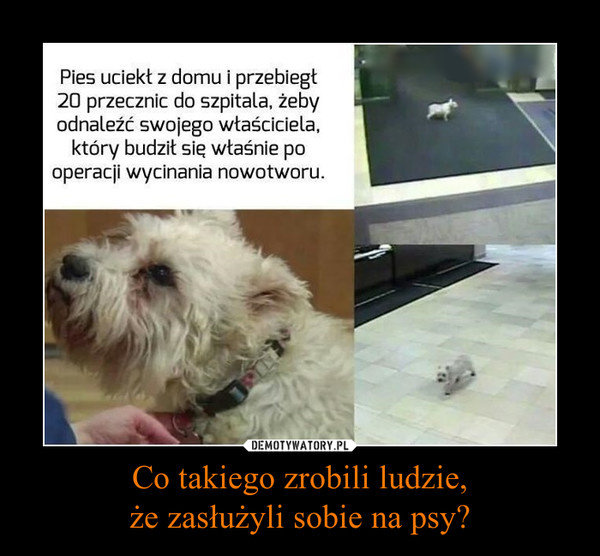 Co takiego zrobili ludzie,że zasłużyli sobie na psy? –  Pies uciekł z domu i przebiegł 20 przecznic do szpitala, żeby odnaleźć swojego właściciela, który budził się właśnie po operacji wycinania nowotworu.
