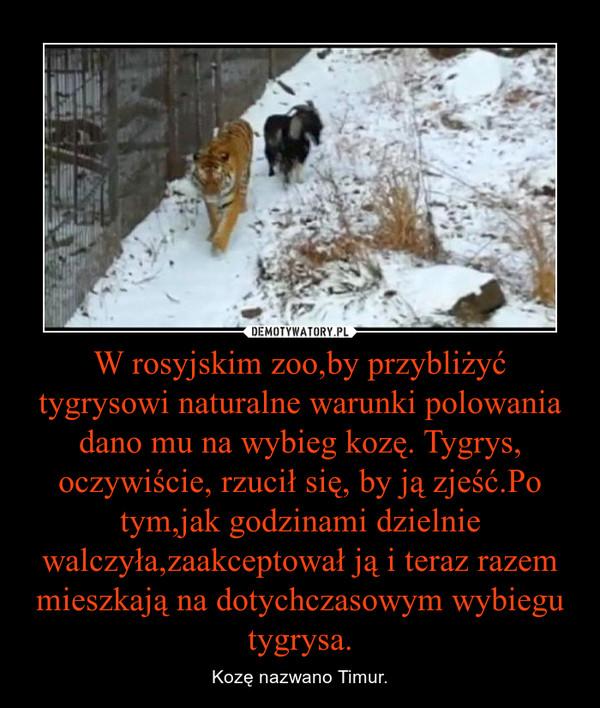 W rosyjskim zoo,by przybliżyć tygrysowi naturalne warunki polowania dano mu na wybieg kozę. Tygrys, oczywiście, rzucił się, by ją zjeść.Po tym,jak godzinami dzielnie walczyła,zaakceptował ją i teraz razem mieszkają na dotychczasowym wybiegu tygrysa. – Kozę nazwano Timur.