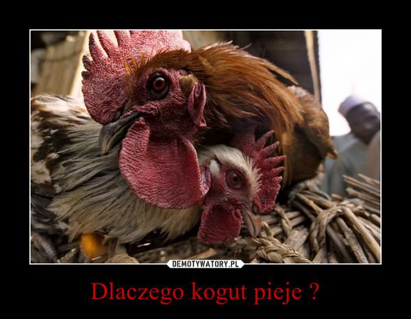 Dlaczego kogut pieje ? –