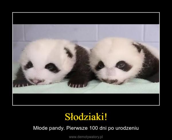Słodziaki! – Młode pandy. Pierwsze 100 dni po urodzeniu