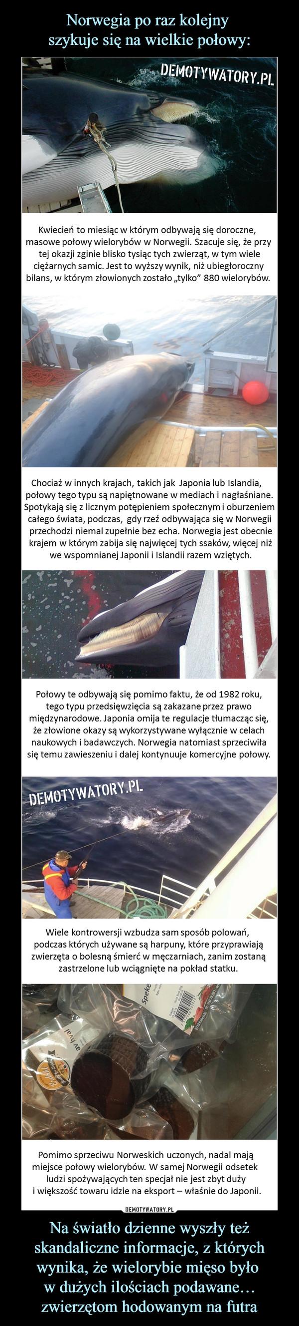 """Na światło dzienne wyszły też skandaliczne informacje, z których wynika, że wielorybie mięso było w dużych ilościach podawane… zwierzętom hodowanym na futra –  Kwiecień to miesiąc w którym odbywają się doroczne, masowe połowy wielorybów w Norwegii. Szacuje się, że przy tej okazji zginie blisko tysiąc tych zwierząt, w tym wiele ciężarnych samic. Jest to wyższy wynik, niż ubiegłoroczny bilans, w którym złowionych zostało """"tylko"""" 880 wielorybów.Chociaż w innych krajach, takich jak w Japonia lub Islandia, połowy tego typu są napiętnowane w mediach i nagłaśniane.Spotykają się z licznym potępieniem społecznym i oburzeniemcałego świata, podczas,  gdy rzeź odbywająca się w Norwegii przechodzi niemal zupełnie bez echa. Norwegia jest obecnie krajem w którym zabija się najwięcej tych ssaków, więcej niż we wspomnianej Japonii i Islandii razem wziętychPołowy te odbywają się pomimo faktu, że od 1982 roku,tego typu przedsięwzięcia są zakazane przez prawomiędzynarodowe. Japonia omija te regulacje tłumacząc się,że złowione okazy są wykorzystywane wyłącznie w celachnaukowych i badawczych. Norwegia natomiast sprzeciwiłasię temu zawieszeniu i dalej kontynuuje komercyjne połowy.Wiele kontrowersji wzbudza sam sposób polowań, podczas których używane są harpuny, które przyprawiajązwierzęta o bolesną śmierć w męczarniach, zanim zostanązastrzelone lub wciągnięte na pokład statku.Pomimo sprzeciwu Norweskich uczonych, nadal mająmiejsce połowy wielorybów. W samej Norwegii odsetek ludzi spożywających ten specjał nie jest zbyt duży i większość towaru idzie na eksport – właśnie do Japonii."""