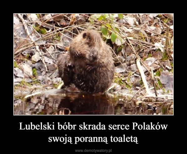 Lubelski bóbr skrada serce Polaków swoją poranną toaletą –
