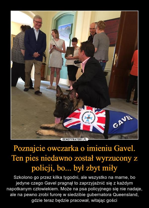 Poznajcie owczarka o imieniu Gavel. Ten pies niedawno został wyrzucony z policji, bo... był zbyt miły – Szkolono go przez kilka tygodni, ale wszystko na marne, bo jedyne czego Gavel pragnął to zaprzyjaźnić się z każdym napotkanym człowiekiem. Może na psa policyjnego się nie nadaje, ale na pewno zrobi furorę w siedzibie gubernatora Queensland, gdzie teraz będzie pracował, witając gości