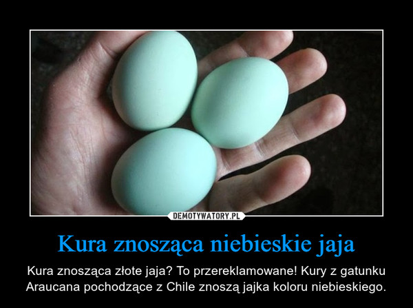 Kura znosząca niebieskie jaja – Kura znosząca złote jaja? To przereklamowane! Kury z gatunku Araucana pochodzące z Chile znoszą jajka koloru niebieskiego.