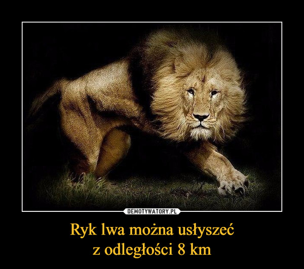 Ryk lwa można usłyszećz odległości 8 km –
