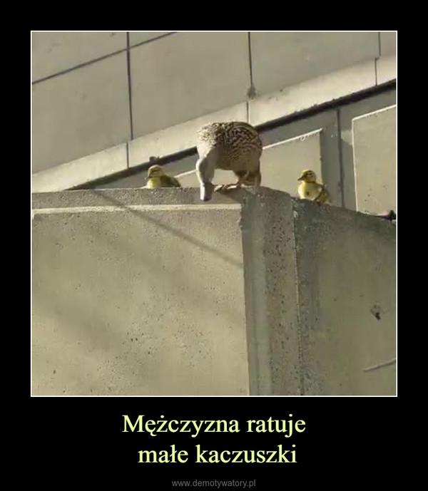 Mężczyzna ratuje małe kaczuszki –