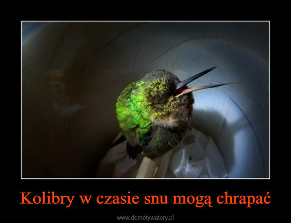 Kolibry w czasie snu mogą chrapać –