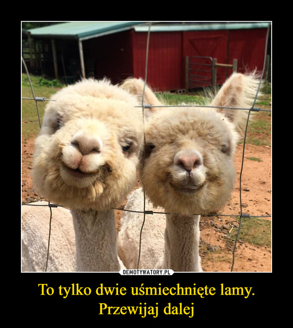 To tylko dwie uśmiechnięte lamy.Przewijaj dalej –
