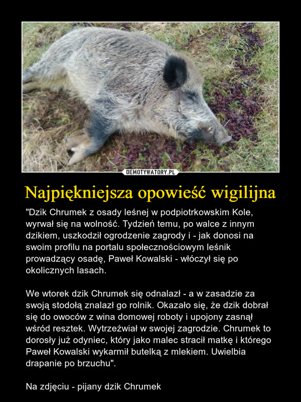 """Najpiękniejsza opowieść wigilijna – """"Dzik Chrumek z osady leśnej w podpiotrkowskim Kole, wyrwał się na wolność. Tydzień temu, po walce z innym dzikiem, uszkodził ogrodzenie zagrody i - jak donosi na swoim profilu na portalu społecznościowym leśnik prowadzący osadę, Paweł Kowalski - włóczył się po okolicznych lasach. We wtorek dzik Chrumek się odnalazł - a w zasadzie za swoją stodołą znalazł go rolnik. Okazało się, że dzik dobrał się do owoców z wina domowej roboty i upojony zasnął wśród resztek. Wytrzeźwiał w swojej zagrodzie. Chrumek to dorosły już odyniec, który jako malec stracił matkę i którego Paweł Kowalski wykarmił butelką z mlekiem. Uwielbia drapanie po brzuchu"""".Na zdjęciu - pijany dzik Chrumek"""