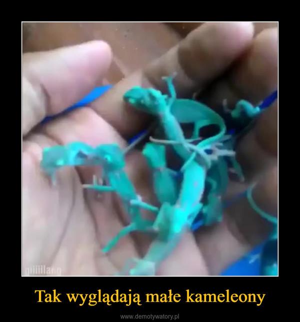 Tak wyglądają małe kameleony –