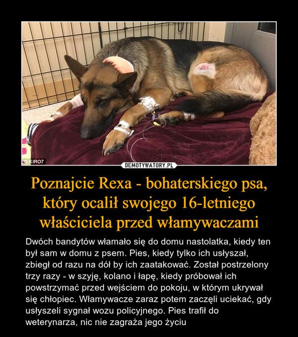 Poznajcie Rexa - bohaterskiego psa, który ocalił swojego 16-letniego właściciela przed włamywaczami – Dwóch bandytów włamało się do domu nastolatka, kiedy ten był sam w domu z psem. Pies, kiedy tylko ich usłyszał, zbiegł od razu na dół by ich zaatakować. Został postrzelony trzy razy - w szyję, kolano i łapę, kiedy próbował ich powstrzymać przed wejściem do pokoju, w którym ukrywał się chłopiec. Włamywacze zaraz potem zaczęli uciekać, gdy usłyszeli sygnał wozu policyjnego. Pies trafił do weterynarza, nic nie zagraża jego życiu