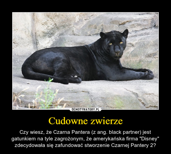 """Cudowne zwierze – Czy wiesz, że Czarna Pantera (z ang. black partner) jest gatunkiem na tyle zagrożonym, że amerykańska firma """"Disney"""" zdecydowała się zafundować stworzenie Czarnej Pantery 2?"""