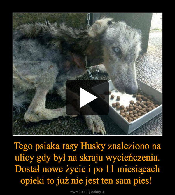 Tego psiaka rasy Husky znaleziono na ulicy gdy był na skraju wycieńczenia. Dostał nowe życie i po 11 miesiącach opieki to już nie jest ten sam pies!  –