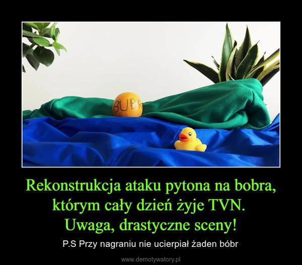 Rekonstrukcja ataku pytona na bobra, którym cały dzień żyje TVN. Uwaga, drastyczne sceny! – P.S Przy nagraniu nie ucierpiał żaden bóbr