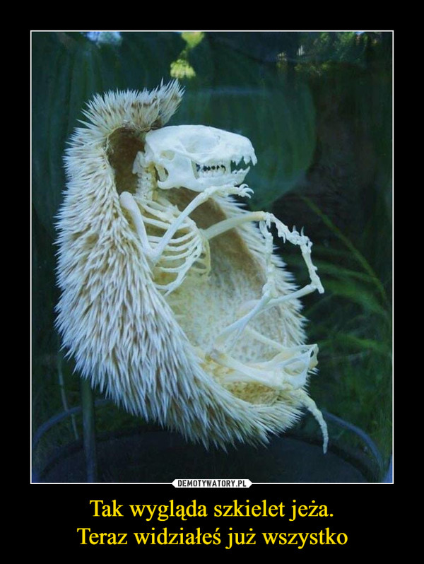 Tak wygląda szkielet jeża.Teraz widziałeś już wszystko –
