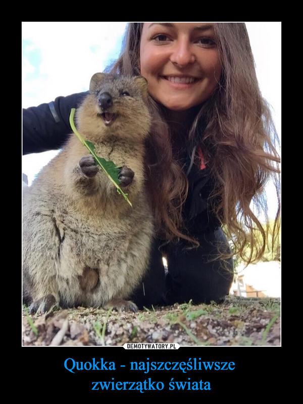 Quokka - najszczęśliwsze zwierzątko świata –