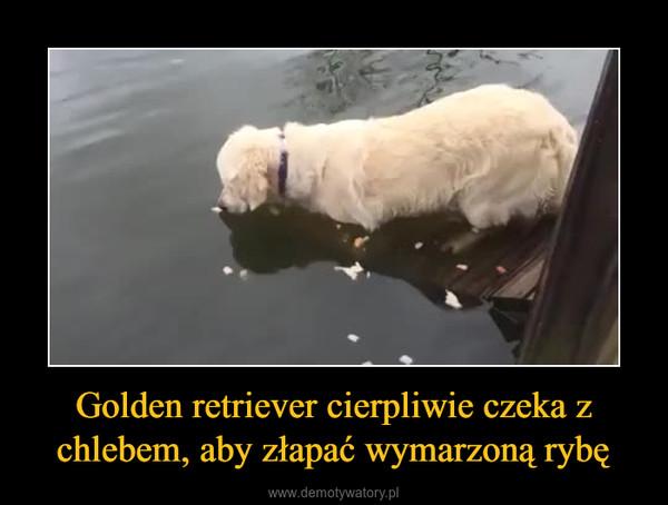 Golden retriever cierpliwie czeka z chlebem, aby złapać wymarzoną rybę –