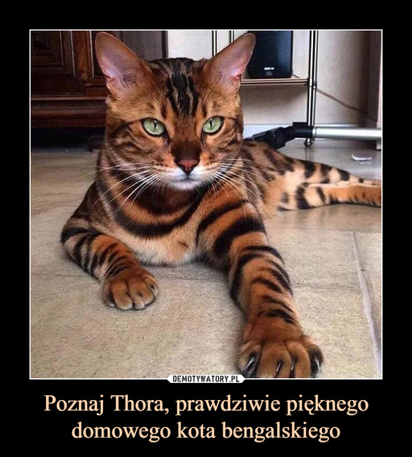 Poznaj Thora, prawdziwie pięknego domowego kota bengalskiego –