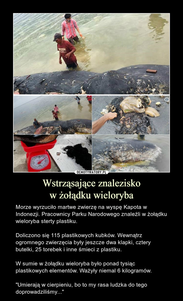 """Wstrząsające znaleziskow żołądku wieloryba – Morze wyrzuciło martwe zwierzę na wyspę Kapota w Indonezji. Pracownicy Parku Narodowego znaleźli w żołądku wieloryba sterty plastiku.Doliczono się 115 plastikowych kubków. Wewnątrz ogromnego zwierzęcia były jeszcze dwa klapki, cztery butelki, 25 torebek i inne śmieci z plastiku.W sumie w żołądku wieloryba było ponad tysiąc plastikowych elementów. Ważyły niemal 6 kilogramów.""""Umierają w cierpieniu, bo to my rasa ludzka do tego doprowadziliśmy..."""""""