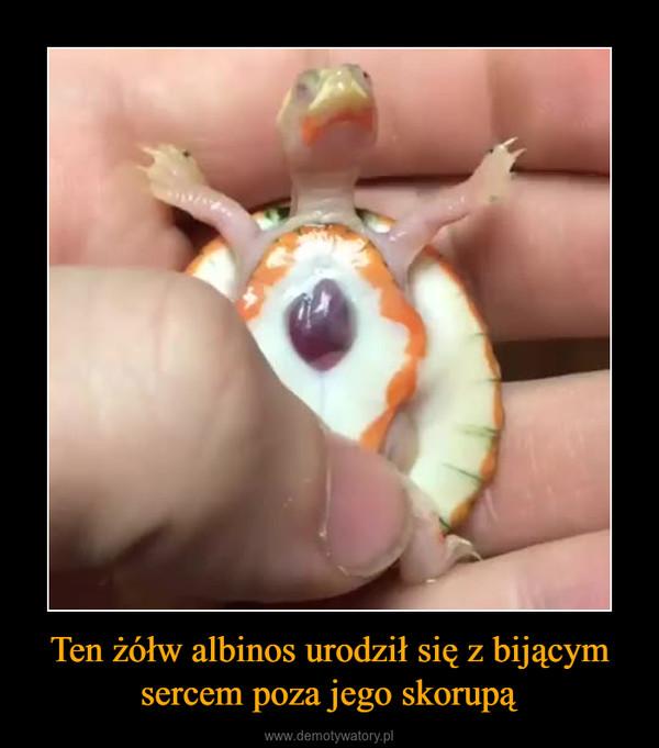 Ten żółw albinos urodził się z bijącym sercem poza jego skorupą –