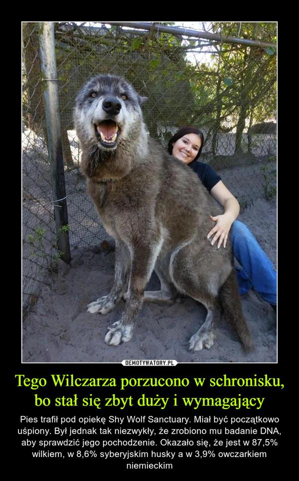 Tego Wilczarza porzucono w schronisku, bo stał się zbyt duży i wymagający – Pies trafił pod opiekę Shy Wolf Sanctuary. Miał być początkowo uśpiony. Był jednak tak niezwykły, że zrobiono mu badanie DNA, aby sprawdzić jego pochodzenie. Okazało się, że jest w 87,5% wilkiem, w 8,6% syberyjskim husky a w 3,9% owczarkiem niemieckim