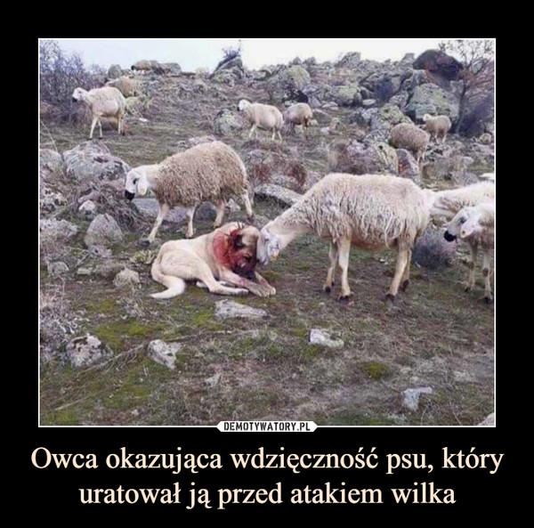 Owca okazująca wdzięczność psu, który uratował ją przed atakiem wilka –
