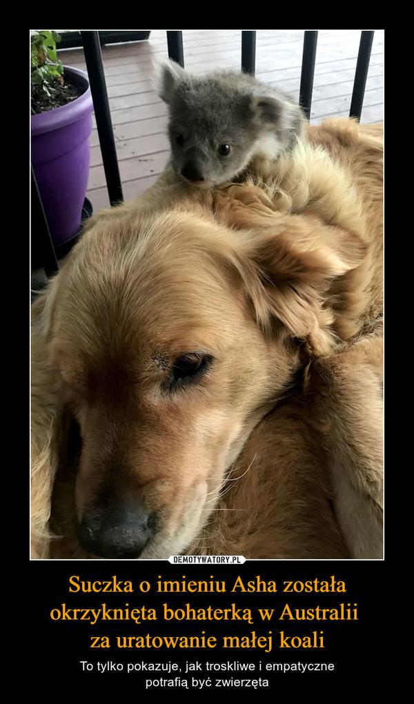 Suczka o imieniu Asha została okrzyknięta bohaterką w Australii za uratowanie małej koali – To tylko pokazuje, jak troskliwe i empatycznepotrafią być zwierzęta