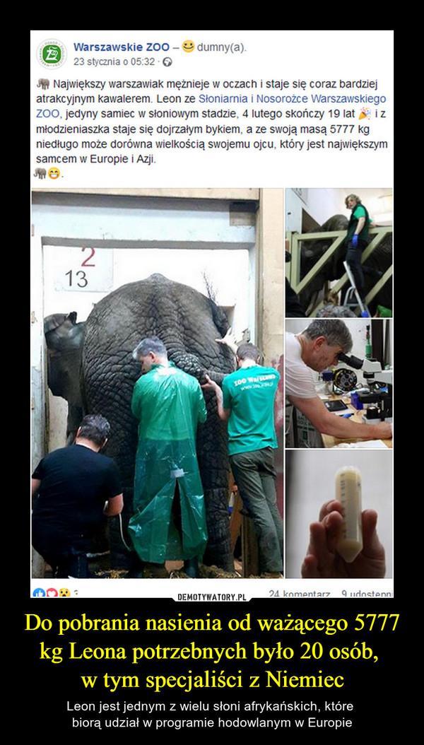 Do pobrania nasienia od ważącego 5777 kg Leona potrzebnych było 20 osób, w tym specjaliści z Niemiec – Leon jest jednym z wielu słoni afrykańskich, które biorą udział w programie hodowlanym w Europie