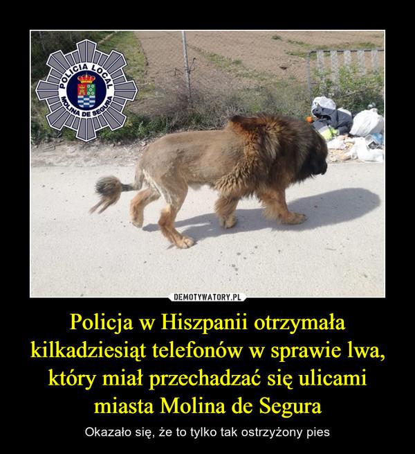 Policja w Hiszpanii otrzymała kilkadziesiąt telefonów w sprawie lwa, który miał przechadzać się ulicami miasta Molina de Segura – Okazało się, że to tylko tak ostrzyżony pies