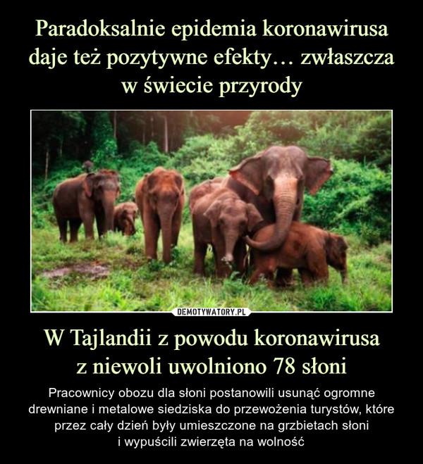 W Tajlandii z powodu koronawirusaz niewoli uwolniono 78 słoni – Pracownicy obozu dla słoni postanowili usunąć ogromne drewniane i metalowe siedziska do przewożenia turystów, które przez cały dzień były umieszczone na grzbietach słonii wypuścili zwierzęta na wolność