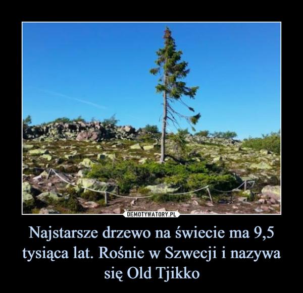 Najstarsze drzewo na świecie ma 9,5 tysiąca lat. Rośnie w Szwecji i nazywa się Old Tjikko –