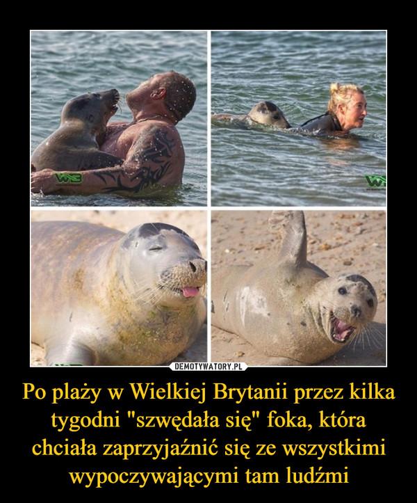 """Po plaży w Wielkiej Brytanii przez kilka tygodni """"szwędała się"""" foka, która chciała zaprzyjaźnić się ze wszystkimi wypoczywającymi tam ludźmi –"""