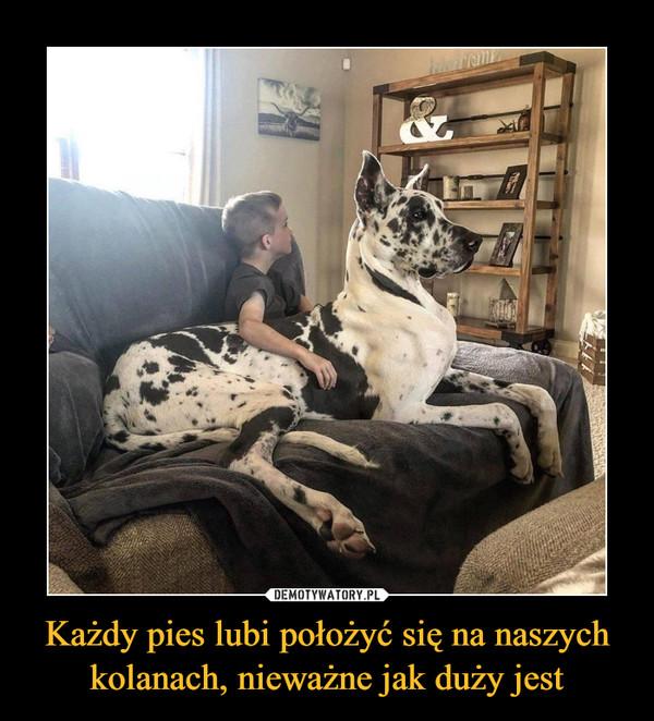 Każdy pies lubi położyć się na naszych kolanach, nieważne jak duży jest –