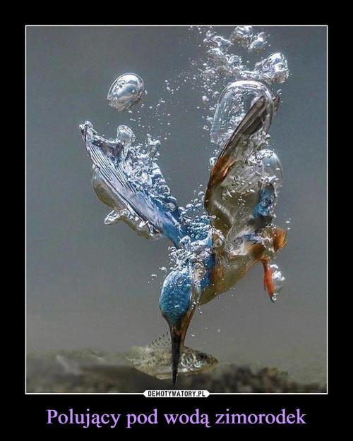 Polujący pod wodą zimorodek