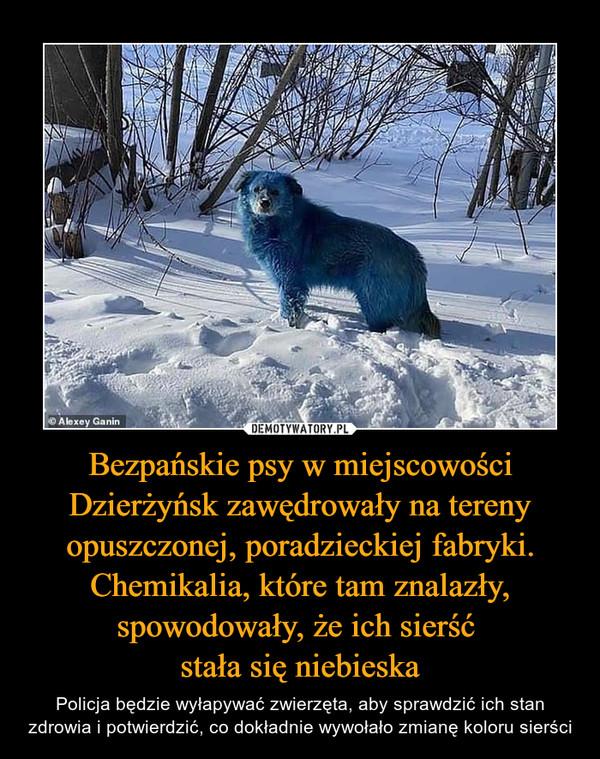 Bezpańskie psy w miejscowości Dzierżyńsk zawędrowały na tereny opuszczonej, poradzieckiej fabryki. Chemikalia, które tam znalazły, spowodowały, że ich sierść stała się niebieska – Policja będzie wyłapywać zwierzęta, aby sprawdzić ich stan zdrowia i potwierdzić, co dokładnie wywołało zmianę koloru sierści