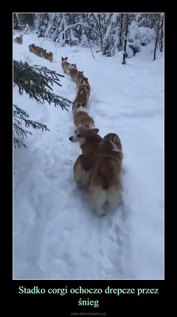 Stadko corgi ochoczo drepcze przez śnieg –