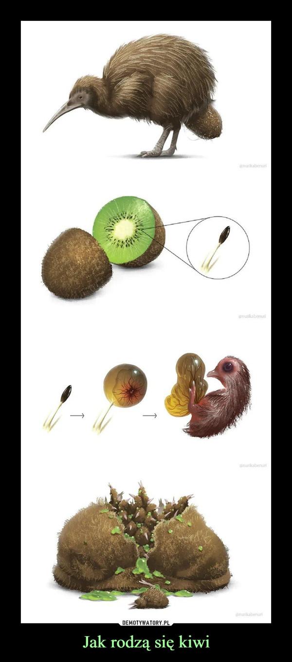 Jak rodzą się kiwi –