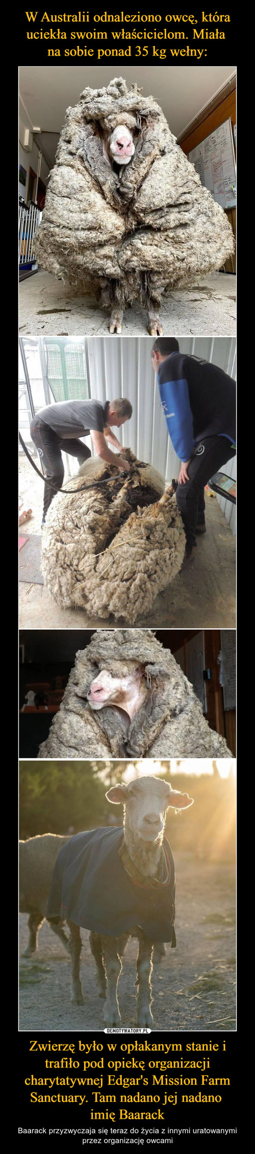 W Australii odnaleziono owcę, która uciekła swoim właścicielom. Miała  na sobie ponad 35 kg wełny: Zwierzę było w opłakanym stanie i trafiło pod opiekę organizacji charytatywnej Edgar's Mission Farm Sanctuary. Tam nadano jej nadano  imię Baarack
