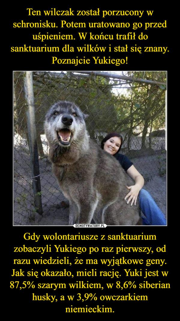 Gdy wolontariusze z sanktuarium zobaczyli Yukiego po raz pierwszy, od razu wiedzieli, że ma wyjątkowe geny. Jak się okazało, mieli rację. Yuki jest w 87,5% szarym wilkiem, w 8,6% siberian husky, a w 3,9% owczarkiem niemieckim. –