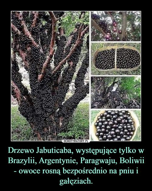 Drzewo Jabuticaba, występujące tylko w Brazylii, Argentynie, Paragwaju, Boliwii - owoce rosną bezpośrednio na pniu i gałęziach.