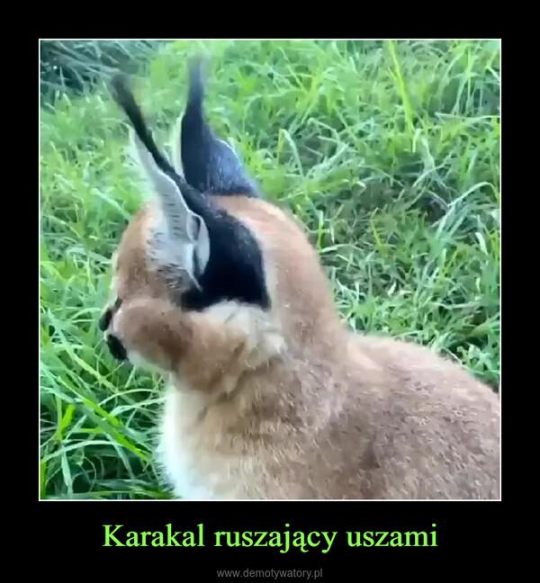 Karakal ruszający uszami –