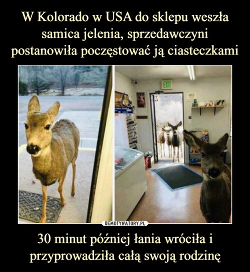 W Kolorado w USA do sklepu weszła samica jelenia, sprzedawczyni postanowiła poczęstować ją ciasteczkami 30 minut później łania wróciła i przyprowadziła całą swoją rodzinę