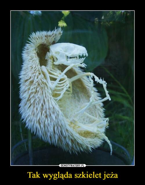 Tak wygląda szkielet jeża