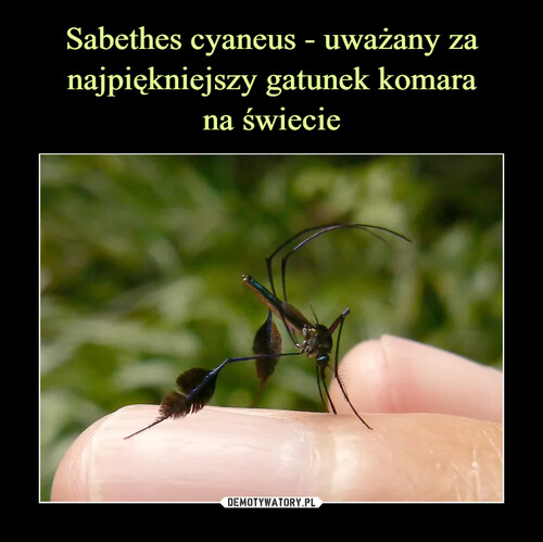 Sabethes cyaneus - uważany za najpiękniejszy gatunek komara na świecie